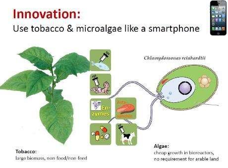 4-tobaccoplant